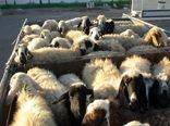 ۱۰۶ راس دام قاچاق در دهلران کشف شد