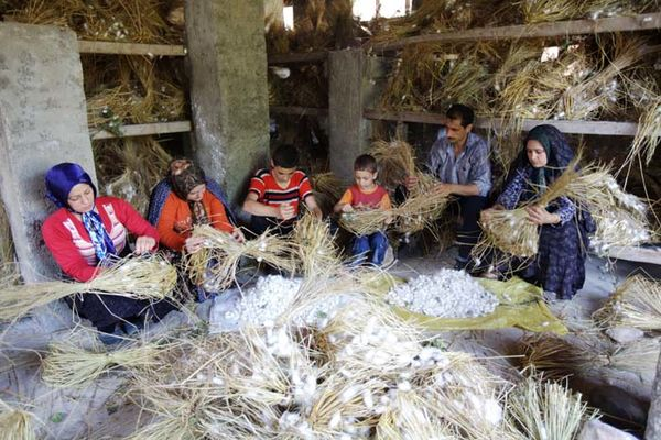 افزایش استقبال کشاورزان به نوغانداری