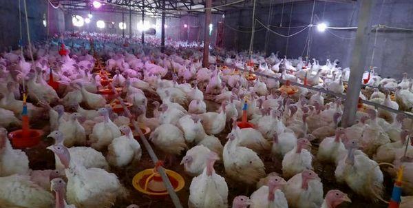 شهرستان جاجرم پیشتاز تولید گوشت بوقلمون در خراسان شمالی