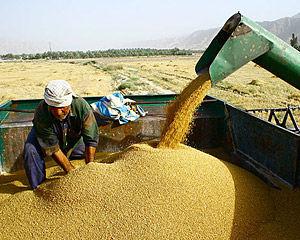 ممنوعیت فروش گندمهای سال جاری پیش از اتمام گندمهای سال 95 و 94
