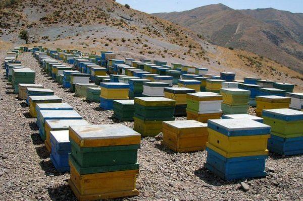 طرح آمارگیری کلنیهای زنبور عسل اجرا میشود