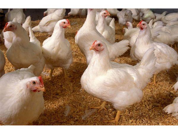 توزیع روزانه 5500 کیلوگرم گوشت مرغ در جویبار