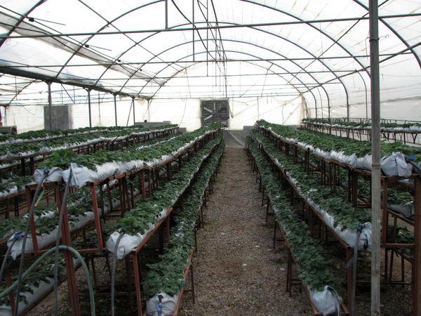 128 واحد گلخانه در استان قزوین محصولات گلخانه ای تولید می کنند
