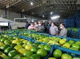 صادرات 560 تنی نارنگی از میاندورود به خارج از کشور