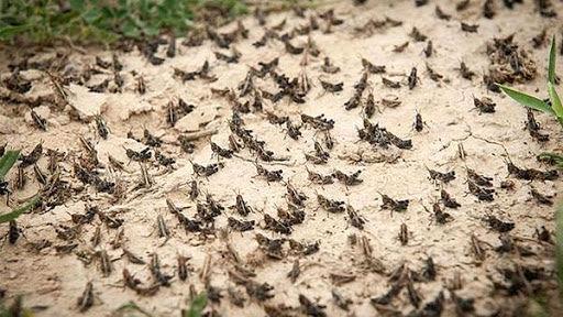 مبارزه بیامان با ملخ در شرایط دشوار/ اجازه ندادیم مزارع و باغها آسیب ببینند