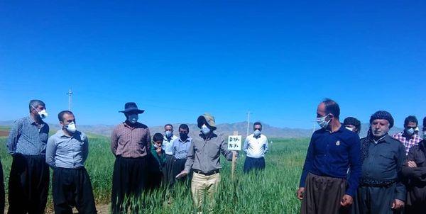 تولید ۹ رقم گندم در کردستان