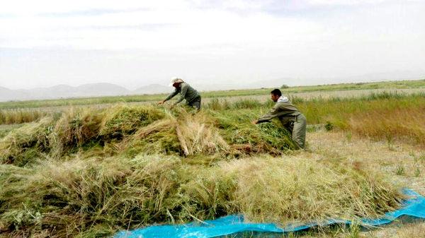 درآمد میلیاردی از خاکشیر