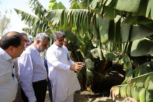 بازدید وزیر جهاد کشاورزی از باغات مدرن موز و انبه در شهرستان کنارک