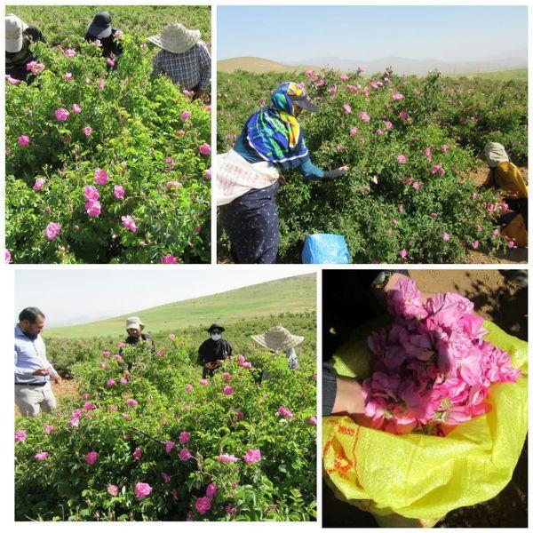 عملیات کیل گیری محصول گل محمدی در سطح 15 هکتار انجام شد