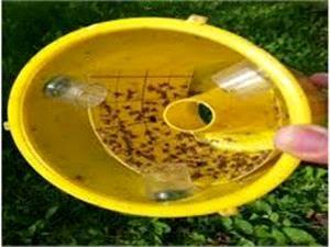مگس میوه در 2700 هکتار باغ های آمل ردیابی شد/ شکار 14 هزار مگس