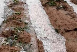 خسارت سیل و تگرگ به کشاورزی شهرستان کازرون