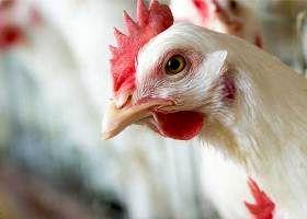 حتی یک نانوگرم از هیچ هورمونی در هیچ مرغداری استفاده نمیشود/ استفاده از هر نوع هورمون در مرغ غیرعلمی، بیتأثیر و غیرقابل اجراست