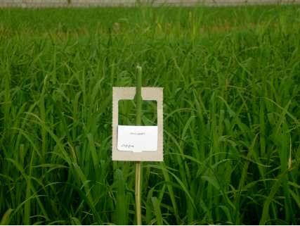 مبارزه بیولوژیک با ساقه خوار برنج در 2000 هکتار از شالیزارهای بابل