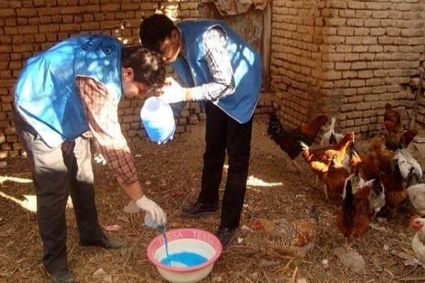 اجرای مرحله دوم واکسیناسیون طیور بومی استان تهران علیه نیوکاسل