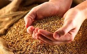 3.5 میلیون تن گندم از کشاورزان خریداری شد