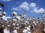 کاشت پنبه به روش مستقیم در مزارع فسا