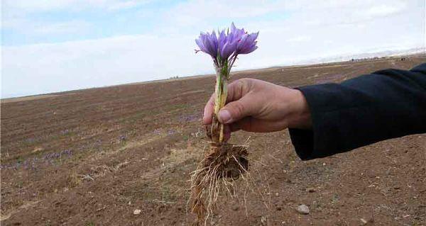 افزایش بهرهوری با استفاده از پیاز زعفران  بالاتر از ۸ تا ۱۲ گرم در مزارع