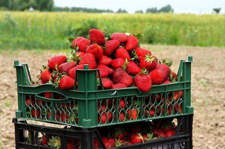 چشم نوازی توت فرنگیهای رستم در بازار