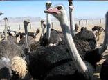 سالانه 160 تن گوشت شترمرغ درسیستان وبلوچستان تولید و روانه بازار مصرف میشود
