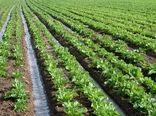 سالانه 600 هزار تن چغندرقند در کرمانشاه تولید میشود