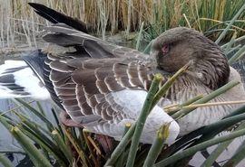شناسایی و مهار بیماری آنفلوانزای فوق حاد پرندگان در حیات وحش منطقه میقان