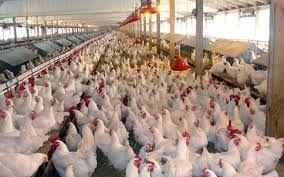برنامهریزی توزیع 1400 تن نهاده برای مرغداریها در نیمه اول اردیبهشت