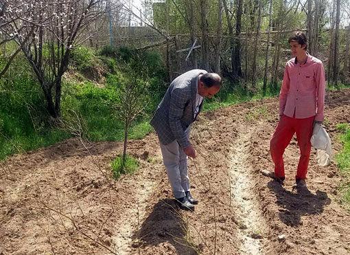 توزیع 12 هزار اصله  نهال گل محمدی یارانهای در شهرستان هشترود