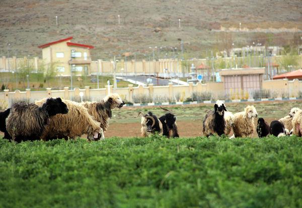پیشرفت 50 درصدی طرح مدیریت چرا و پایش مراتع قشلاقی شهرستان سرخه