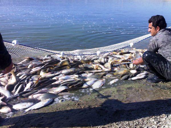 برداشت ۱۲۶۰ تن انواع ماهیان گرم آبی در استان ایلام