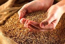 سالانه 18 هزار تُن گندم در بانه مصرف میشود