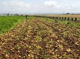 پیشبینی برداشت ۲۸۰ هزار تن سیبزمینی از مزارع بهار