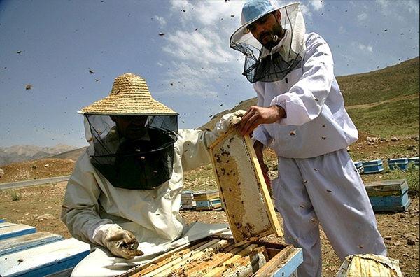تولید عسل در ایلام هشت درصد افزایش یافت