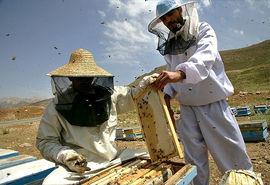 تنها نیم درصد کندوهای عسل بیمه هستند