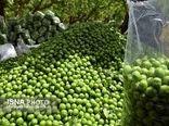 تولید 3270 تن گوجه سبز در استان سمنان