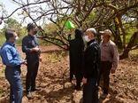 ۱۲ هزار کارت زرد و ۲۵۰ تله دلتا جذب آفات بر درختان باغستان سنتی قزوین نصب شد