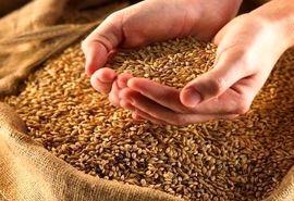 بذر اصلاح شده گندم برای سال زراعی جدید تامین شد