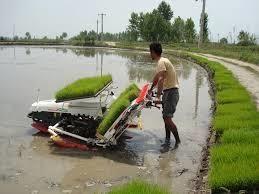 کشت مکانیزه 123 هزار هکتاری برنج در مازندران/فعالیت 178 بانک نشا