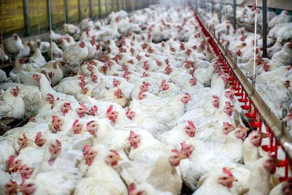 ۷۰۰ تن مرغ زنده خراسان شمالی آماده عرضه به بازار است