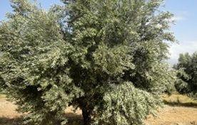 تأمین نیاز کشور با تولید زیتون با کیفیت و ارزان قیمت