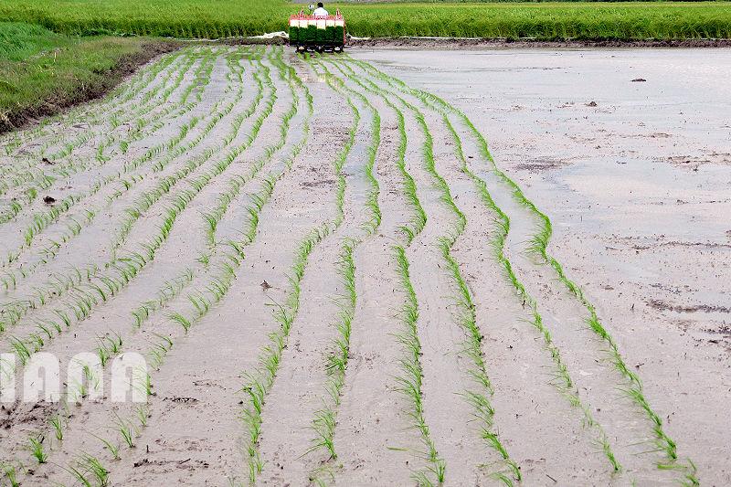 کشت برنج