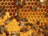 تولید عسل در شهرستان سیرجان 3 کیلوگرم از هر کلنی است