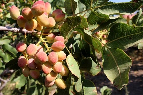 اختصاص بیش از 140 هکتار از اراضی استان به کشت محصول پسته
