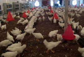 خرید تضمینی مرغ در مازندران