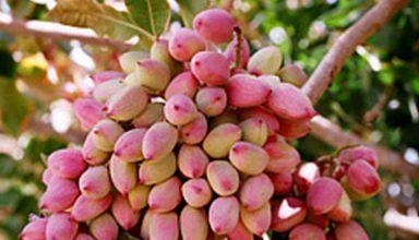 برداشت پسته در شهرستان ارزوئیه از سطح 856 هکتار باغات بارور