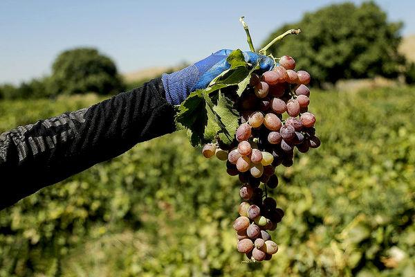 برداشت انگور و تولید کشمش در ملایر