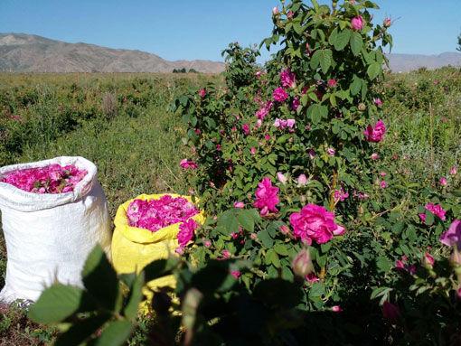 برداشت 50 تن محصول گل محمدی از گلستان های شهرستان جلفا