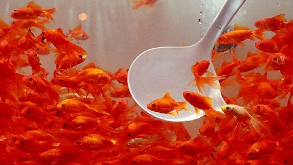 اصفهان رتبه نخست تولید ماهیان زینتی را در کشور دارد
