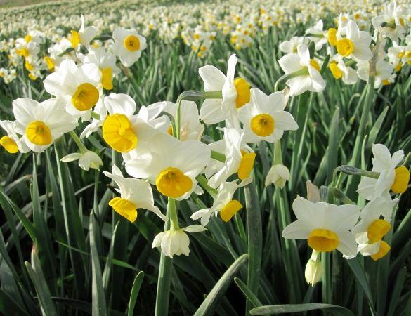 تولید گل نرگس نیازمند توسعه صنایع تبدیلی و تکمیلی