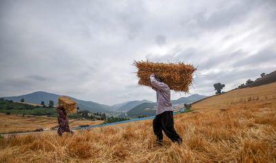 ۶۱۳ هزارو ۵۲۵ تن گندم در راه سیلوهای کردستان