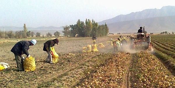 برداشت 100 هزار تن سیب زمینی از مزارع سمیرم/ افزایش 4 برابری سطح زیر کشت نسبت به سال گذشته